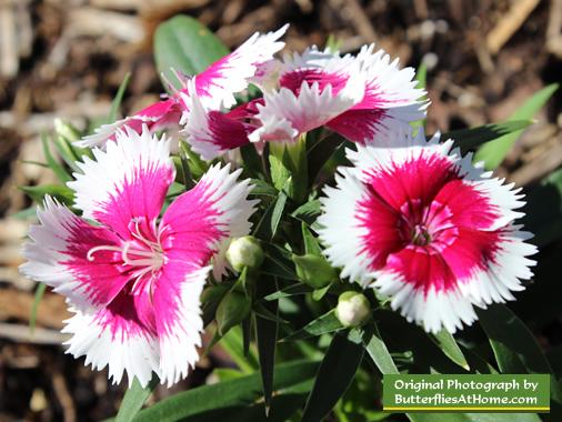Butterfly Gardening, Host Plants, Nectar Plants, Puddling