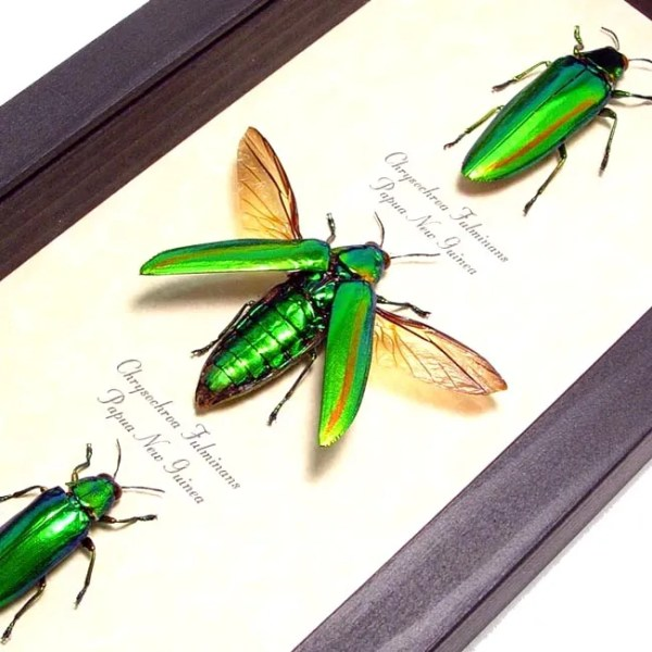 3 Green-Jewel-Beetle set real framed insect displays