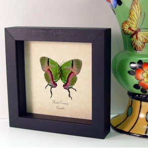 Thecla coronata Hewitson's Hairstreak real framed butterflies by butterfly-designs