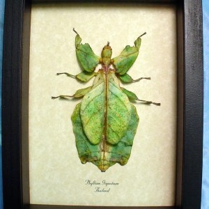 Phyllium giganteum Female Walking Leaf Insect