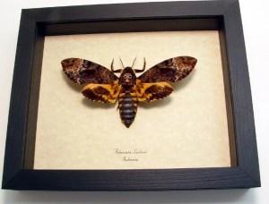 Death Head Moth Acherontia lachesis female