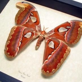 Attacus atlas Female Giant Huge 8″ Wingspan Real Framed Moth