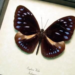 Euploea viola Giant Purple Butterfly
