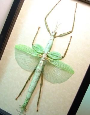 Eurycnema versirubra Giant Green Walking Stick Real Framed Insect Display