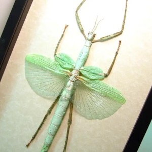 Eurycnema versirubra Giant Green Walking Stick Real Framed Insect Display