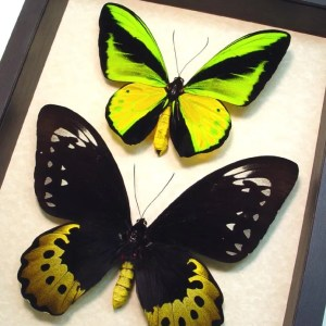 Real Framed Butterflies, Moths, Insects & Beetles from around the world We offer the largest selection of Real Framed Butterflies, Moths, Insects & Beetles