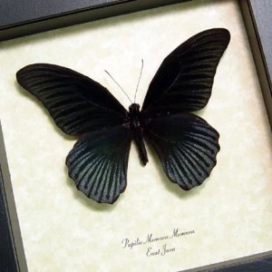 Black Butterflies Insects