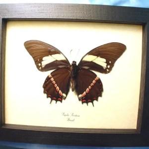 Papilio aristeus verso Birdwing mimic