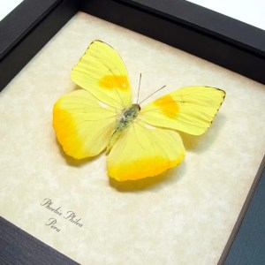 Yellow Butterflies Insects