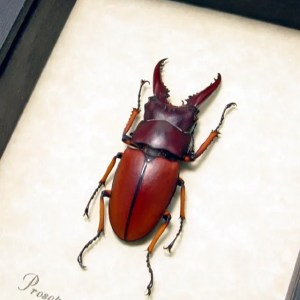 Prosopocoilus Astacoides sm Stag Beetle