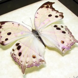 Salamis parhassus Mother Of Pearl Butterfly