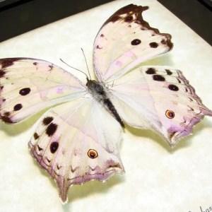African Butterflies