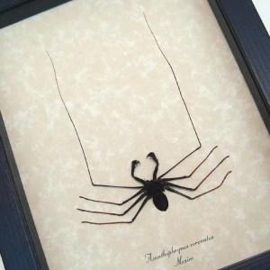 Acanthophrynus coronatus Cave Spider