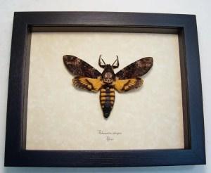 Death Head Moth atrops Male
