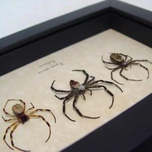 Argiope Species Spider Set