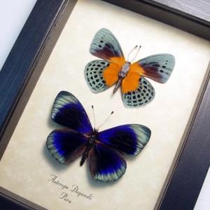 Asterope Degandii Pair Blue orange Butterflies