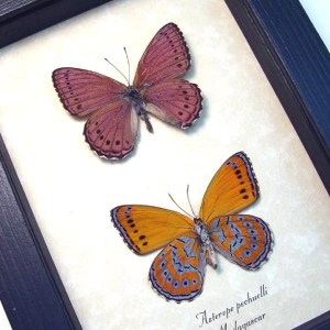 Asterope pechuelli Pair Lavender Orange Butterflies