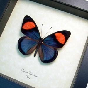 Batesia hypochlora Pink Blue Butterfly
