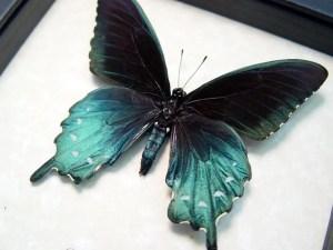 Battus Philenor Male Pipevine Swallowtail Butterfly