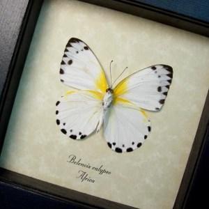 Belenois calypso Verso Calypso White Yellow