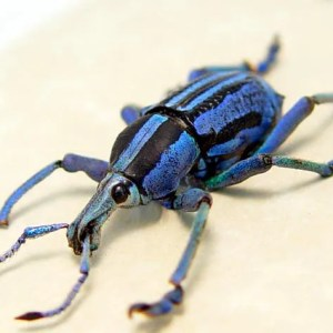 Eupholus bennetti Weevil Purple