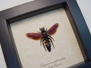 Campsomeris quadrimaculata Female Wasp