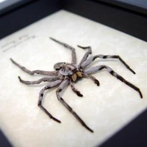 Hogna carolinensis Carolina Wolf Spider