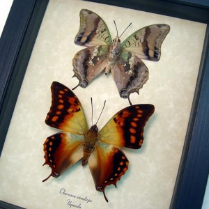 Charaxes candiope Pair Dagger Tails