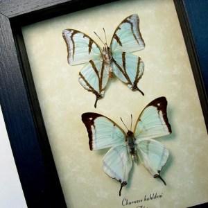Charaxes kahldeni Pair Mint Green Butterflies