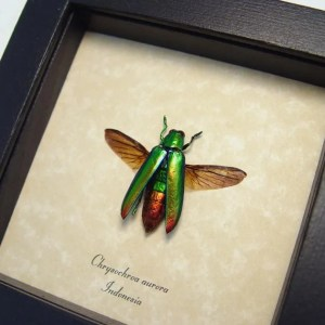Chrysochroa aurora Green Flying Beetle
