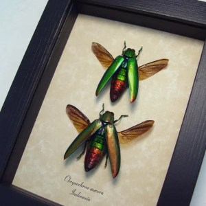 Chrysochroa aurora Set Jewel Beetles