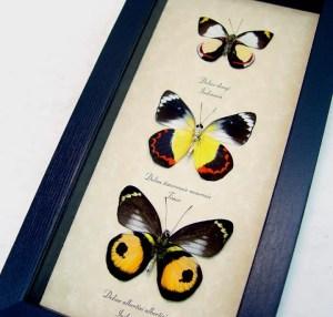 Delias Set Colorful Butterflies