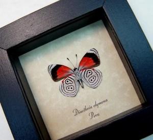 Diaethria clymena Framed 88 Butterfly