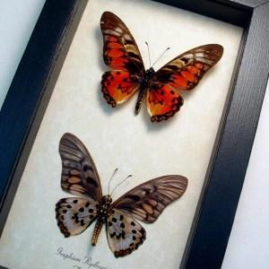 Graphium rydleyanus Set Red Butterflies