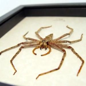 Heteropoda boiei Huntsman Spider