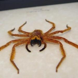 Heteropoda davidbowie Large Huntsman Spider