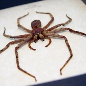 Heteropoda sp Huntsman Spider