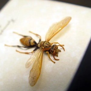 Hymenoptera sp Golden Wasp Real