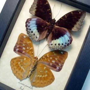 Lexias pardalis Pair Common Archduke Lavender Butterflies