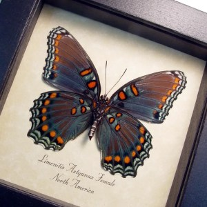 Red Spotted Purple Limenitis Astyanax Female verso Butterfly