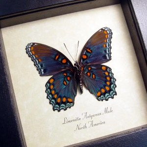 Limenitis Astyanax Male Red Spotted Purple