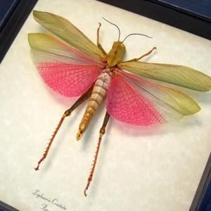 Lophacris cristata Pink Grasshopper Female