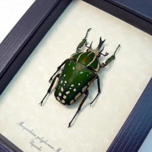 Mecynorhina polyphemus African Fruit Beetle