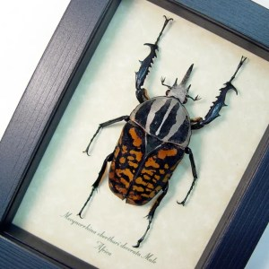 Mecynorrhina oberthuri decorata Male african Beetle