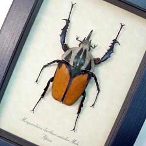 Mecynorrhina oberthuri unicolor African Beetle