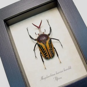 Megalorrhina harrisi haroldi Pitch Fork Beetle