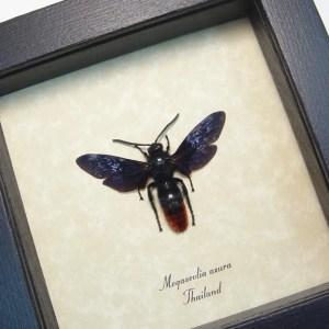Megascolia azura Purple Rusty Wasp