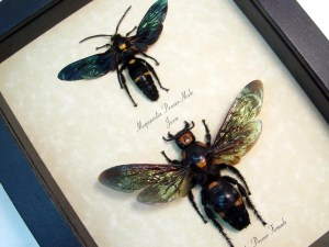 Megascolia procer Wasp Set