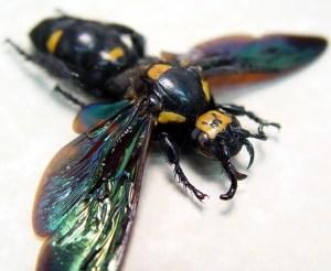 Megascolia procer Wasp Female Worlds Largest