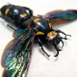 Megascolia procer Wasp Female Worlds Largest